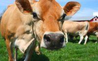 mơ con bò